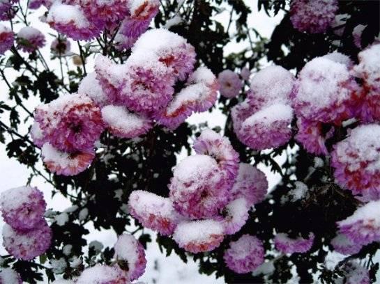 Многолетние сорта садовых хризантем с фотографиями