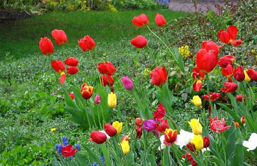 Нежная красота тюльпанов в Вашем саду