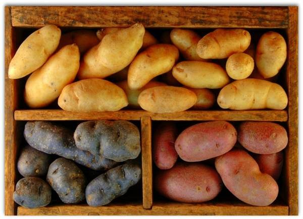 Описание и характеристика сорта картофеля Удача