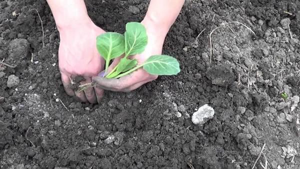 Особенности выращивания белокочанной капусты