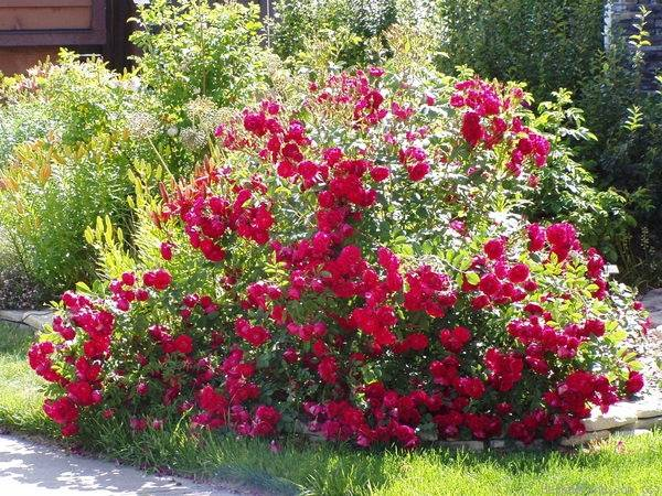 Плетистая роза Розариум Ютерсен — настоящий винтаж в вашем саду
