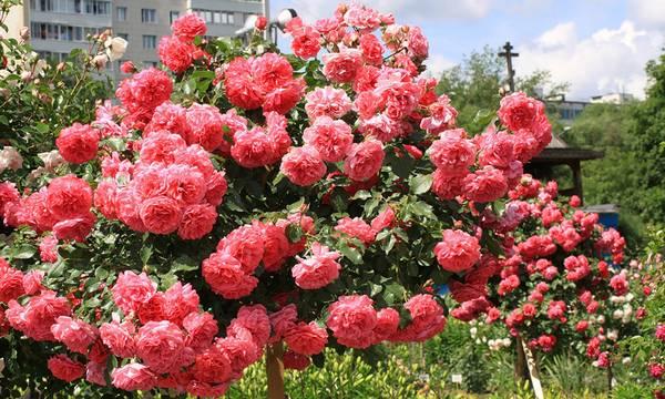 Плетистая роза: выращивание и уход