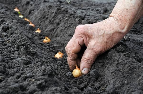 Секреты выращивания многоярусного лука: советы специалистов