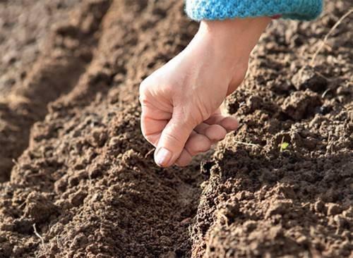 Способы выращивания щавеля