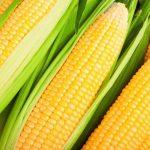 Идеальный урожай кукурузы