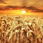 Аграрии Крыма уже собрали 500 тысяч тонн зерна, — Гоцанюк