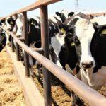 В Крыму господдержка на производство собственного молока увеличена в три раза, — Рюмшин