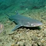 Акулы черного моря