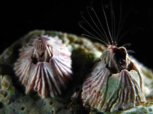 Усоногие рачки - морские желуди