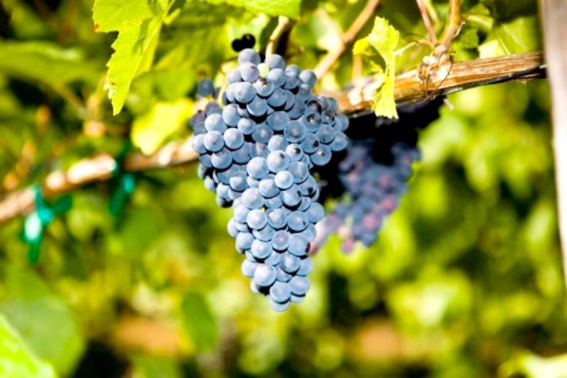 Виноград молдова в Крыму