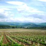 Сорта винограда в Крыму