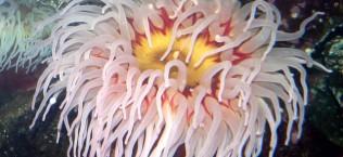 Распространённая черноморская актиния - Actinia equina