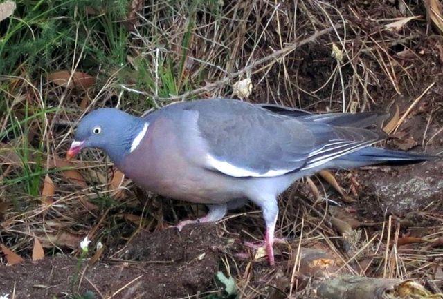 Дикий собрат городского голубя - Вяхирь