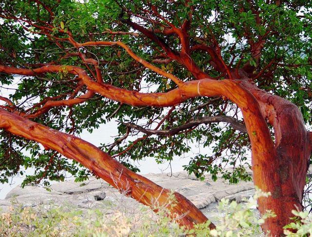Земляничник мелкоплодный, или коралловое дерево