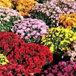 Ежегодная выставка — Хризантемы в Крыму