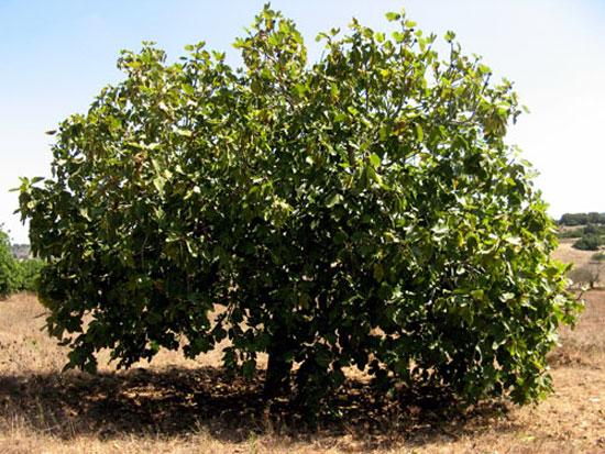 Инжирное дерево, фиговое дерево