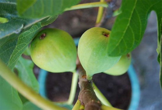 Плоды инжира - фига, смоква, смоковница, винная ягода