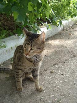 Крымская кошка - настоящий абориген