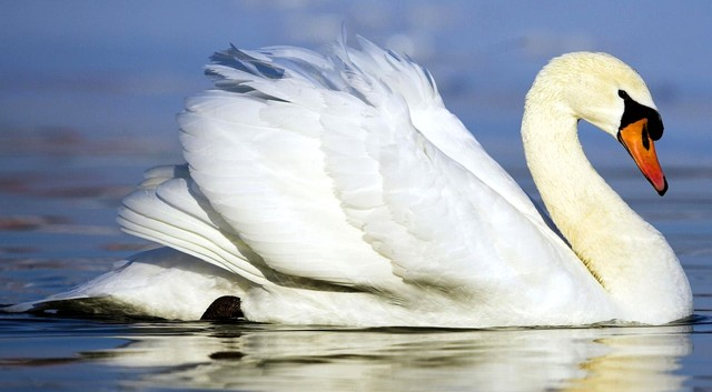 Белые лебеди в Крыму