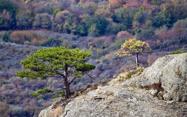 Сосны на вершине Демерджи