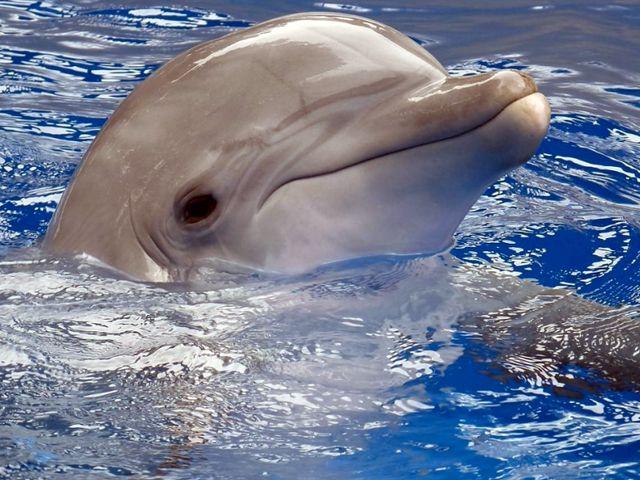 Черноморский дельфин в дельфинариуме