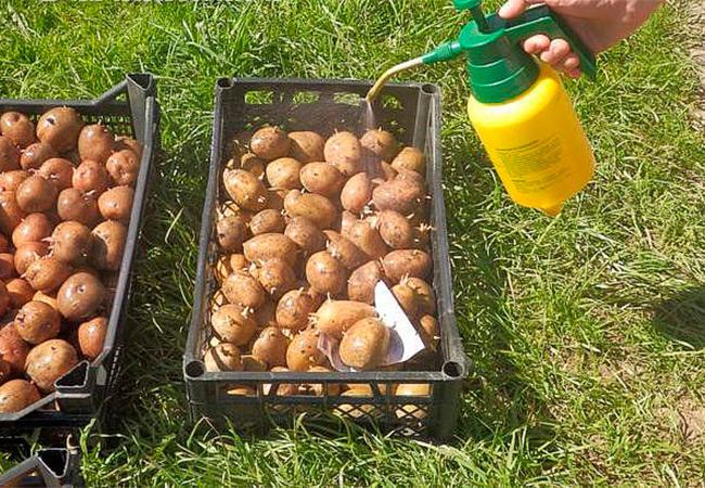 Чем заняться на огороде? Высококачественные сорта картофеля в Украине