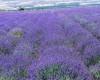В каком месяце цветет лаванда в Крыму