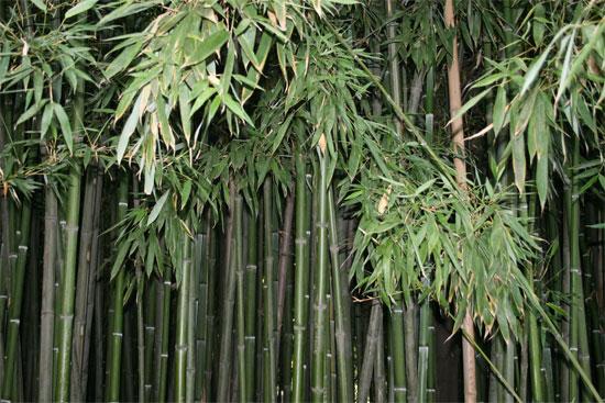 Бамбуковая роща в Никитском ботаническом саду
