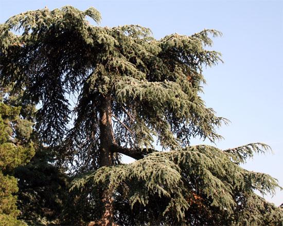 Ливанский Кедр, Никитский ботанический сад