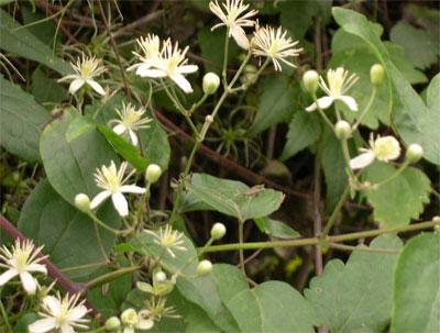 Ломонос виноградолистный или обыкновенный - Clematis vitalba