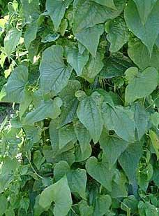 Тамус обыкновенный, Tamus communis