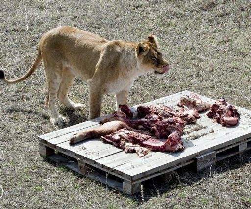 Корм льва