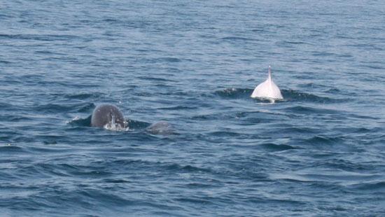 Уникальный дельфин-альбинос, Черное море