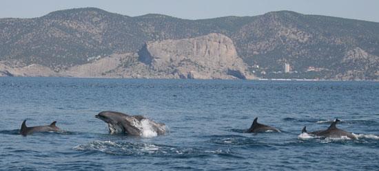 Дельфины ловят рыбу