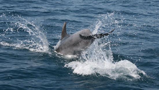 Детеныш дельфина, афалина