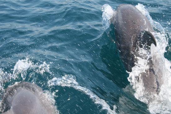 Пара дельфинов наперегонки с яхтой