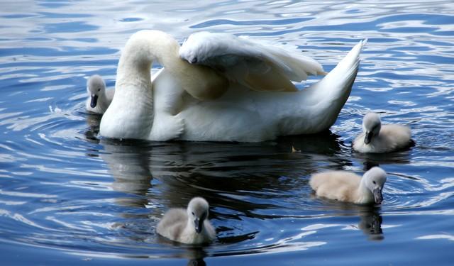 Мама-лебедь и её детёныши