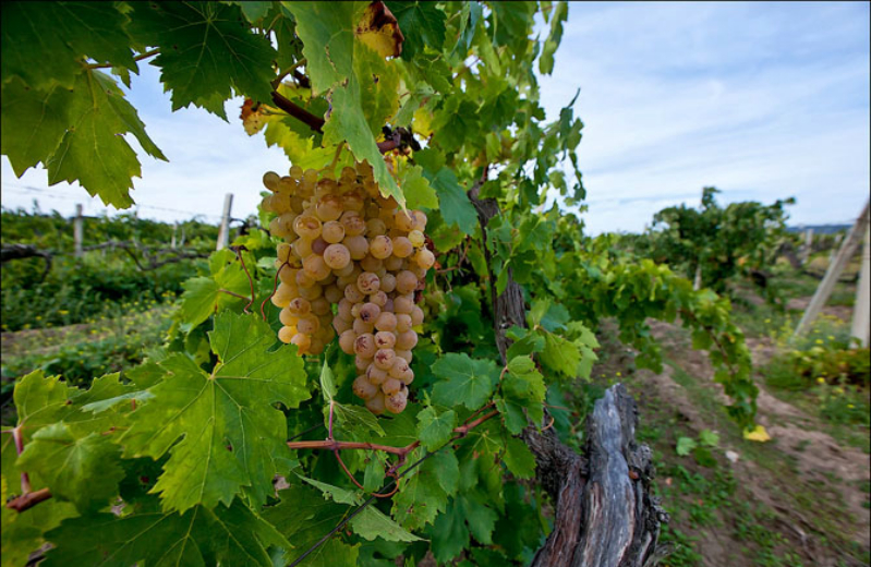 Сорт винограда Мускат Италия