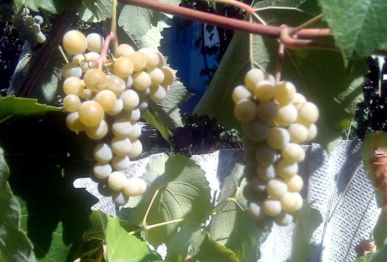 Виноград Шасла Крым
