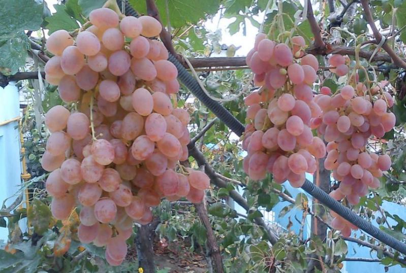 Тайфи розовый-сорт винограда
