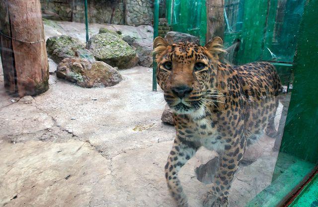 """Дальневосточный леопард в ялинском зоопарке """"Сказка"""""""