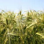 Крымские аграрии отметили снижение урожайности-2020 в несколько раз