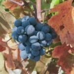 Более 2,2 млрд рублей на развитие виноградарства получил Крым за семь лет