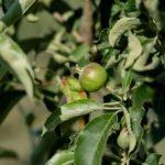 В суперинтенсивном яблоневом саду КФУ появились первые плоды