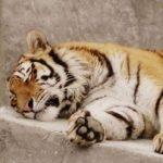 Кто виноват? Тигр откусил палец малолетнему ребенку в Крыму