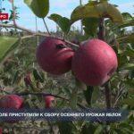 В Севастополе приступили к сбору осеннего урожая яблок