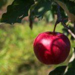 В суперинтенсивном яблоневом саду КФУ собирают первый урожай