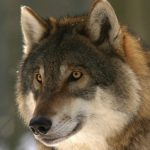 В Севастопольском регионе резко выросла популяция волков