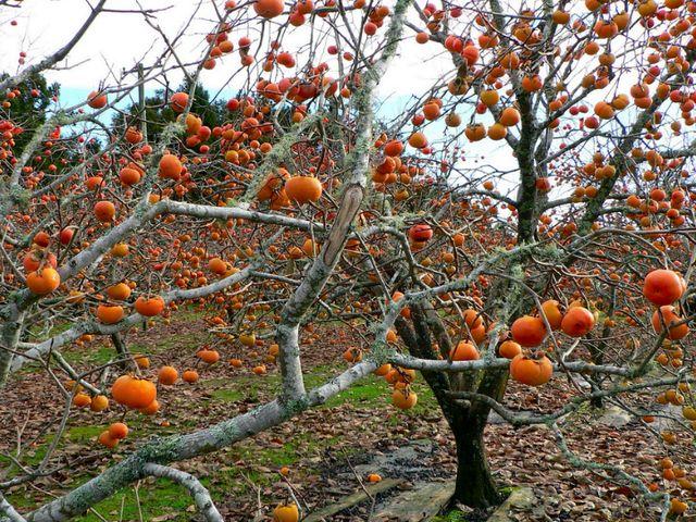 Дерево хурмы с плодами